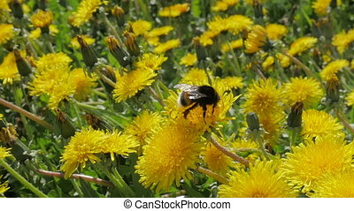 A large bumblebee, a bee pollinates dandelions. A bumblebee flies above the flowers. Slow motion