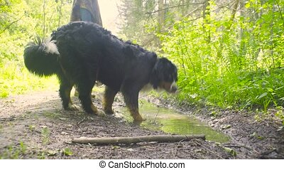 A dog drinking water from a puddle - A dog - shepherd...