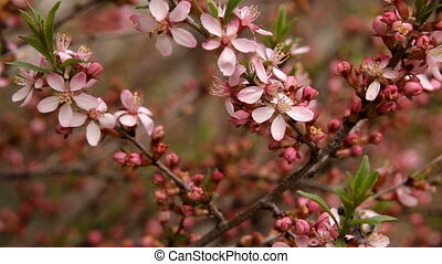 Spring blossom background. Beautiful nature scene with blooming tree