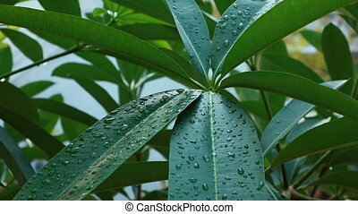 Drops of water on the leaves of a tree