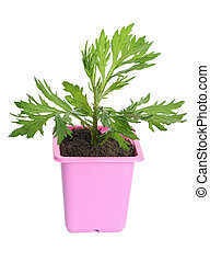 Green plant in a flower pot isolated