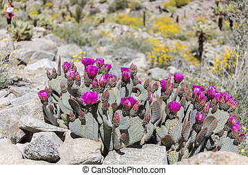 Beavertail Cactus and Wildflowers blooming in Anza-Borrego...