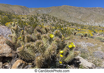 Cacti and Wildflowers blooming in Anza-Borrego State Park,...