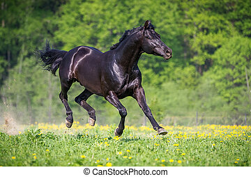 Black horse playing and runs gallop on the meadow in summer