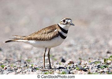 Killdeer shorebird close