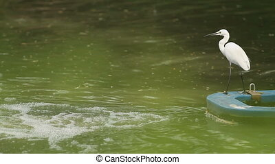 White heron stands at the water and looks for fish. Lumpini...
