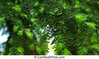 Western Hemlock Branches - Western hemlock with new growth...