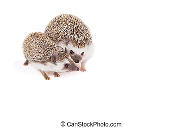 Two pet hedgehogs snuggling