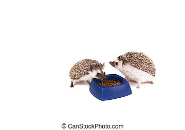 Two hedghogs eating out of a dish