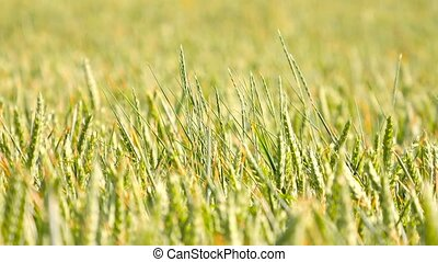 Fresh green wheat corn field in wind motion. Unripe wheat in...