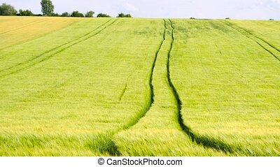 Trailed tractor tracks in young yellow green barley field....