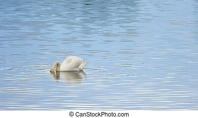 Majestic adult swan swim on smooth water level with sun...