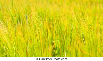 Young yellow green barley blowing in the wind. Field of...