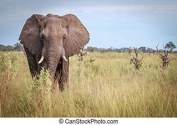 Elephant starring at the camera. - An Elephant starring at...
