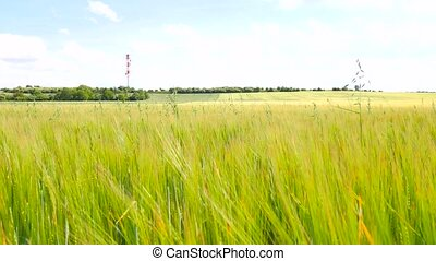 Detail of green oat grass growing in barley field. Field of...