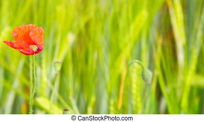 Couple of red poppy flowers are fluttering with fresh green...