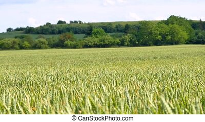 Wheat field waves in wind. Moved stalks of rye by summer...