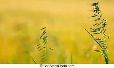 Detail of green oat grass growing in barley field. Field of...