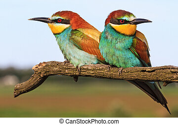 pair European bee-eater sitting on a branch