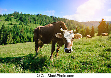 Grazing cow - A cow is grazing in the mountains