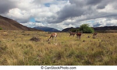 Guanaco lama exotic mammal wild animal in Andes mountains of...
