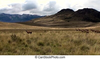 Guanaco lama exotic mammal wild animal in Andes mountains of Patagonia.