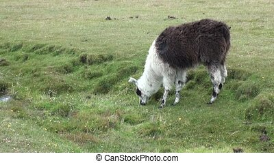 Alpaca exotic mammal wild animal in Andes mountains of...