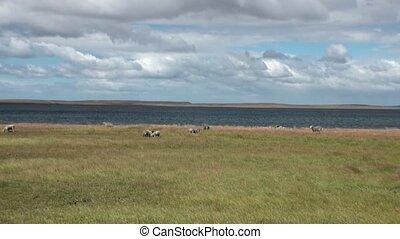 Mutton sheep jumbuck mammal animal on ocean coast of...