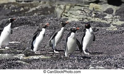 Rockhopper penguins Falkland Island - Rockhopper penguins...