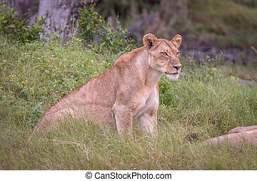 A female Lion starring at something. - A female Lion...