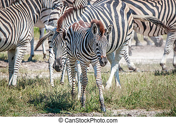 Young Zebra standing in the grass. - Young Zebra standing in...