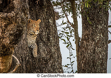 A female Leopard starring from a tree. - Leopard starring...