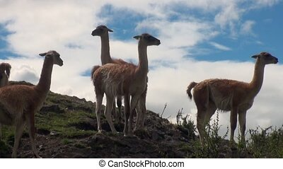 Guanaco exotic mammal wild animal in Andes mountains of...