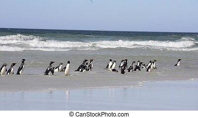 Rockhopper penguins Falkland Island - Rockhopper penguins...
