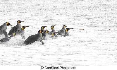 King Penguins at South Georgia - King Penguins going in the...