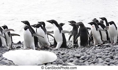 Adelie Penguins on the beach - Adelie Penguins walk on the...