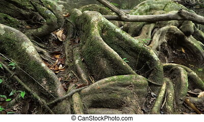 Giant Roots of fig tree - Slider video of Giant Roots of fig...