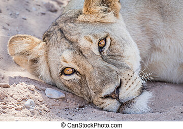 Lion laying down and starring. - Lion laying down and...