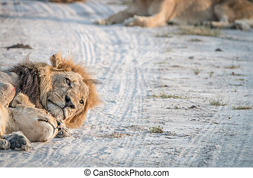 Two Lions sleeping on the road. - Two Lions sleeping on the...