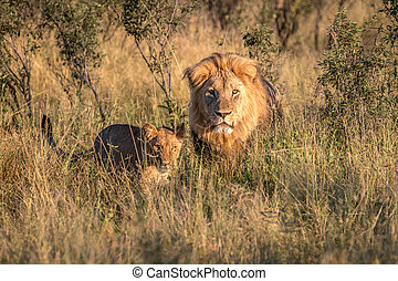 Two Lions walking in the grass in the Chobe National Park,...