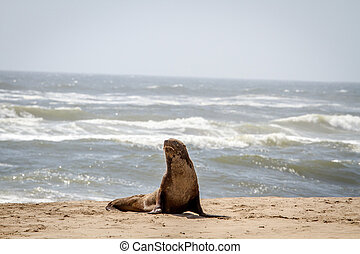 Cape fur seal starring at the camera. - Cape fur seal...