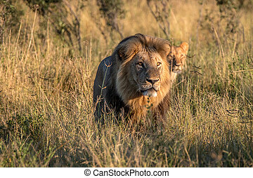 Two Lions walking in the grass. - Two Lions walking in the...