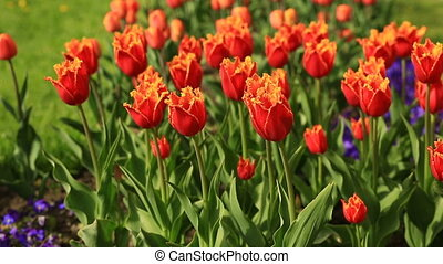 Flowerbed of many fresh red tulips flowers in city park. -...