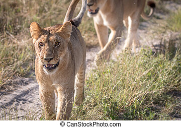 Two Lions bonding on the road. - Two Lions bonding on the...