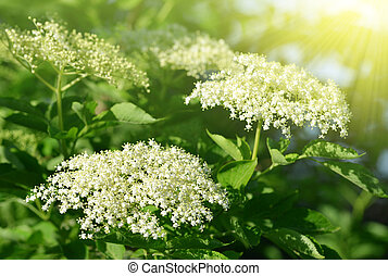 Elderberry flower (Sambucus nigra) close up.