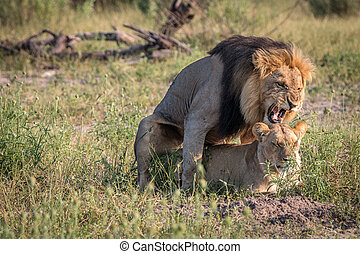 Two Lions busy mating in the grass. - A mating couple of...