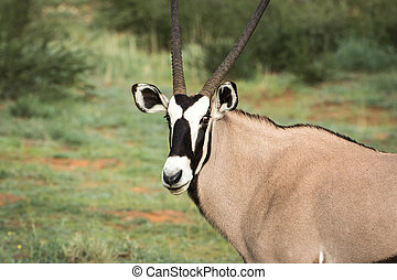 Gemsbok starring at the camera. - Orxy starring at the...
