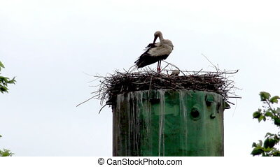 nest of storks - the two storks in the nest
