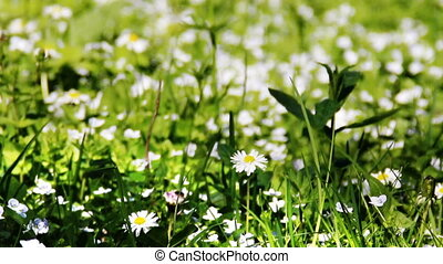 blossoming camomiles - white blossoming camomiles in the...