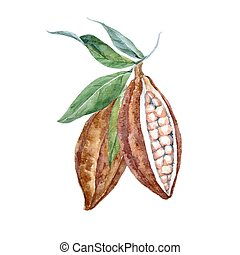 Watercolor vector cacao fruits - Beautiful vector...